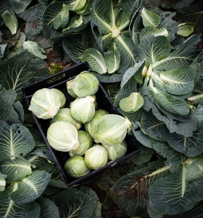Gleaning for Cabbages - Food Waste on UK Farms Photographed by Chris King