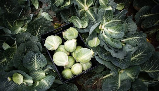 The Gleaning Network – Saving Cauliflowers and Cabbages