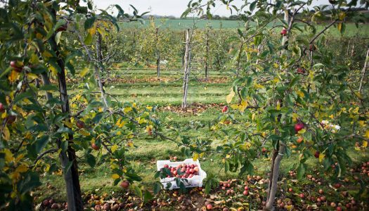 The Gleaning Network – Saving more apples from being wasted!