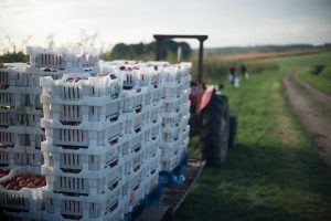 Gleaning on UK Farm - Food Waste Photography by Chris King
