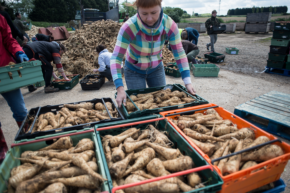 Gleaning Network reducing food waste by saving parsnips from going to rot on a UK farm