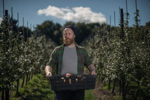 Gleaner picking apples on a farm near Canterbury - Reducing the amount of edible food going to waste